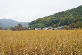 琵琶湖の内湖「西の湖」に広がるヨシの群落。