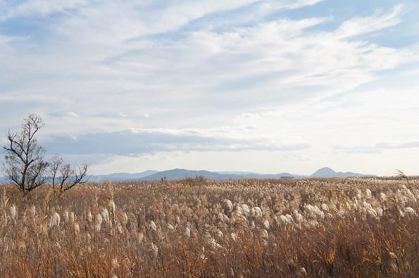晩秋の西の湖に広がる葦(ヨシ)原と近江富士(近江八幡の水郷)。周辺には伝統的な葦簀(よしず)作りを生業とされる方もおられ、一帯は「重要文化的景観」の全国第一号に選定されています